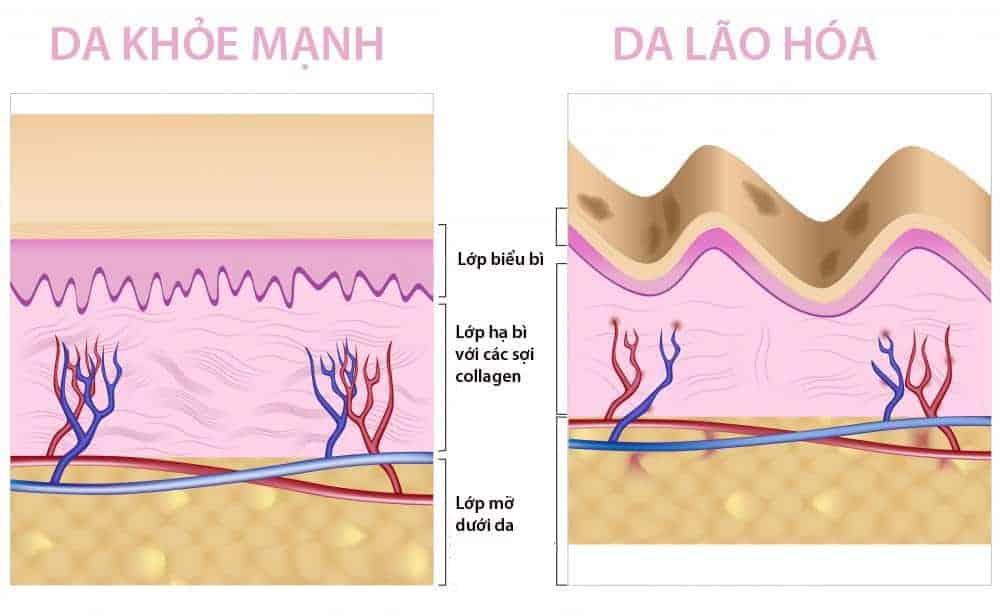 Collagen được xem như chất keo liên kết các tế bào, tạo sự đàn hồi cho làn da